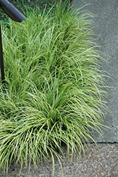 Grassy-Leaved Sweet Flag (Acorus gramineus 'Ogon') at Make It Green Garden Centre