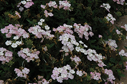 EnduraScape™ White Blush Verbena (Verbena 'Balendish') at Make It Green Garden Centre