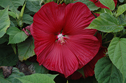 Honeymoon™ Deep Red Hibiscus (Hibiscus 'Honeymoon Deep Red') at Make It Green Garden Centre