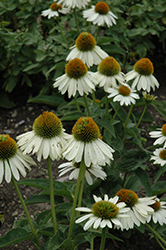 Sombrero® Blanco Coneflower (Echinacea 'Balsomblanc') at Make It Green Garden Centre