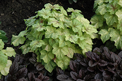 Fire Frost Foamy Bells (Heucherella 'Fire Frost') at Make It Green Garden Centre