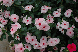Valiant Apricot Vinca (Catharanthus roseus 'Valiant Apricot') at Make It Green Garden Centre