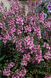 Archangel™ Orchid Pink Angelonia (Angelonia angustifolia 'Archangel Orchid Pink') at Make It Green Garden Centre