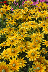 Prairie Sun Coneflower (Rudbeckia hirta 'Prairie Sun') at Make It Green Garden Centre
