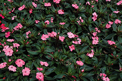 SunPatiens® Spreading Shell Pink New Guinea Impatiens (Impatiens 'SunPatiens Spreading Shell Pink') at Make It Green Garden Centre