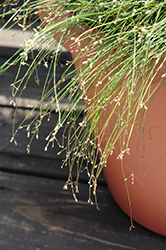 Live Wire Fiber Optic Grass (Isolepis cernua 'Live Wire') at Make It Green Garden Centre