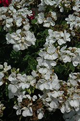Americana® White Geranium (Pelargonium 'Americana White') at Make It Green Garden Centre