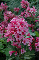 Sonic Bloom® Pink Reblooming Weigela (Weigela florida 'Bokrasopin') at Make It Green Garden Centre