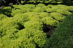 Lemon Ball Stonecrop (Sedum rupestre 'Lemon Ball') at Make It Green Garden Centre