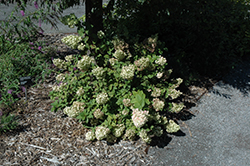 Strawberry Sundae® Hydrangea (Hydrangea paniculata 'Rensun') at Make It Green Garden Centre