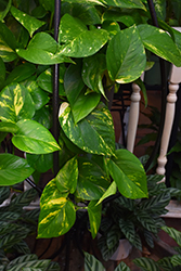 Golden Pothos (Epipremnum aureum) at Make It Green Garden Centre