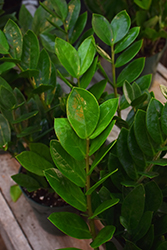 ZZ Plant (Zamioculcas zamiifolia) at Make It Green Garden Centre