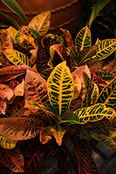 Petra Variegated Croton (Codiaeum variegatum 'Petra') at Make It Green Garden Centre