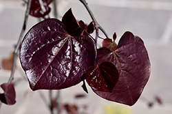 Ruby Falls Redbud (Cercis canadensis 'Ruby Falls') at Make It Green Garden Centre