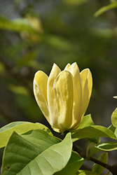 Yellow Bird Magnolia (Magnolia 'Yellow Bird') at Make It Green Garden Centre