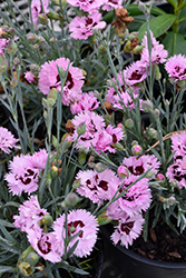 Early Bird™ Fizzy Pinks (Dianthus 'Wp08 Ver03') at Make It Green Garden Centre