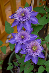 Multi Blue Clematis (Clematis 'Multi Blue') at Make It Green Garden Centre