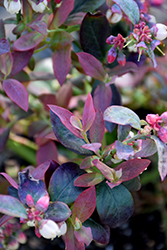 Pink Icing® Blueberry (Vaccinium 'ZF06-079') at Make It Green Garden Centre
