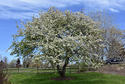 Snowdrift Flowering Crab (Malus 'Snowdrift') at Make It Green Garden Centre