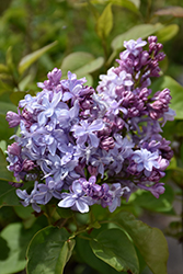 Nadezhda Lilac (Syringa vulgaris 'Nadezhda') at Make It Green Garden Centre