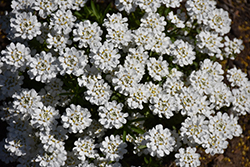 Whiteout Candytuft (Iberis sempervirens 'Whiteout') at Make It Green Garden Centre