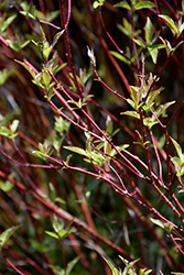 Bailey's Red Twig Dogwood (Cornus sericea 'Baileyi') at Make It Green Garden Centre