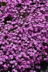 Emerald Pink Moss Phlox (Phlox subulata 'Emerald Pink') at Make It Green Garden Centre