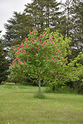 Fort McNair Red Horse Chestnut (Aesculus x carnea 'Fort McNair') at Make It Green Garden Centre