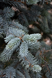 Hoopsii Blue Spruce (Picea pungens 'Hoopsii') at Make It Green Garden Centre