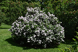 Miss Kim Lilac (Syringa patula 'Miss Kim') at Make It Green Garden Centre