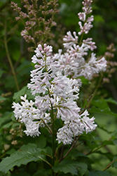 Agnes Smith Lilac (Syringa x prestoniae 'Agnes Smith') at Make It Green Garden Centre