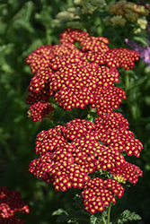 Strawberry Seduction Yarrow (Achillea millefolium 'Strawberry Seduction') at Make It Green Garden Centre