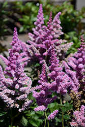 Little Vision In Purple Chinese Astilbe (Astilbe chinensis 'Little Vision In Purple') at Make It Green Garden Centre