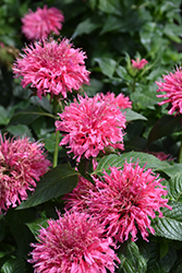 Bubblegum Blast Beebalm (Monarda 'Bubblegum Blast') at Make It Green Garden Centre