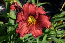 Funny Valentine Daylily (Hemerocallis 'Funny Valentine') at Make It Green Garden Centre