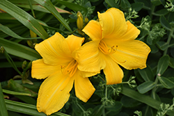 Buttered Popcorn Daylily (Hemerocallis 'Buttered Popcorn') at Make It Green Garden Centre