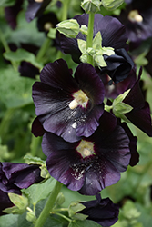 Blacknight Hollyhock (Alcea rosea 'Blacknight') at Make It Green Garden Centre
