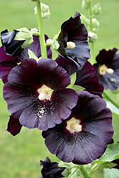 Black Hollyhock (Alcea rosea 'Nigra') at Make It Green Garden Centre