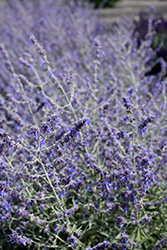 Crazy Blue Russian Sage (Perovskia atriplicifolia 'Crazy Blue') at Make It Green Garden Centre