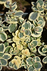 Lime Twister Stonecrop (Sedum 'Lime Twister') at Make It Green Garden Centre