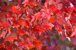 Autumn Radiance Red Maple (Acer rubrum 'Autumn Radiance') at Make It Green Garden Centre