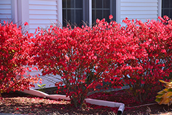 Chicago Fire Burning Bush (Euonymus alatus 'Chicago Fire') at Make It Green Garden Centre