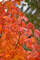 Bowhall Red Maple (Acer rubrum 'Bowhall') at Make It Green Garden Centre