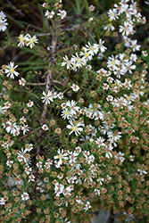 Snow Flurry Aster (Aster ericoides 'Snow Flurry') at Make It Green Garden Centre