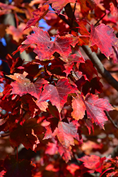 Autumn Flame Red Maple (Acer rubrum 'Autumn Flame') at Make It Green Garden Centre
