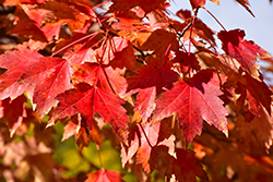 Sun Valley Red Maple (Acer rubrum 'Sun Valley') at Make It Green Garden Centre