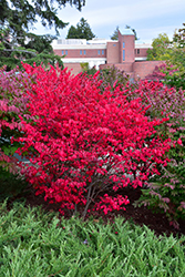 Compact Winged Burning Bush (Euonymus alatus 'Compactus') at Make It Green Garden Centre