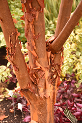 Paperbark Maple (Acer griseum) at Make It Green Garden Centre