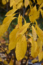 Spicebush (Lindera benzoin) at Make It Green Garden Centre