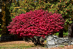 Winged Burning Bush (Euonymus alatus) at Make It Green Garden Centre